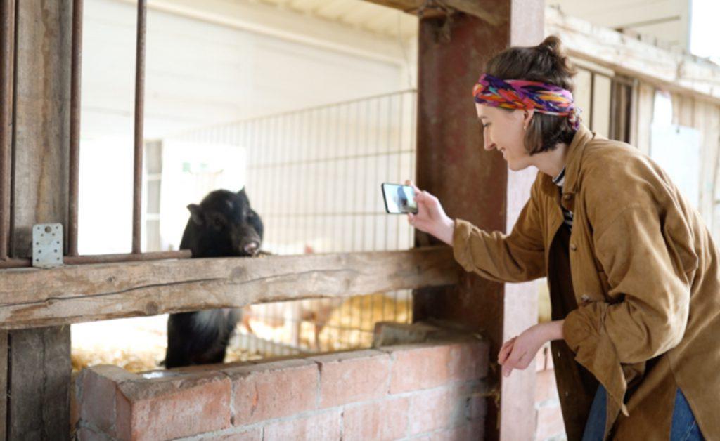 Schwein in Stall, Frau mit Smartphone