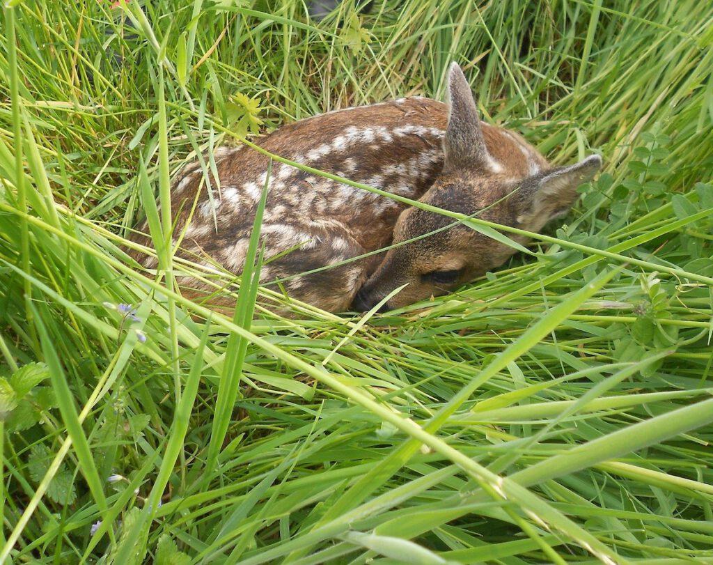 Ein Rehkitz liegt versteckt im Gras
