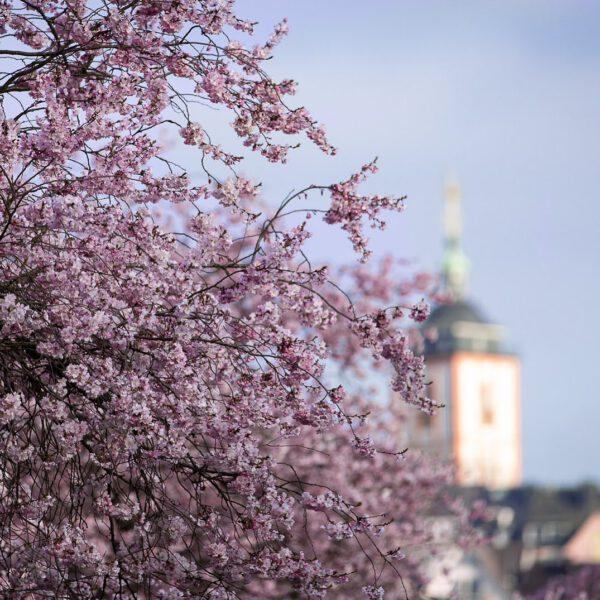 Blühender Kirschbaum vor einer Kirche